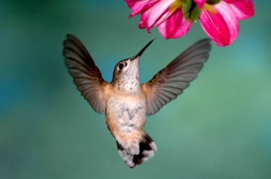 Hummingbird-600x398