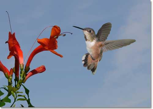 hummingbird_4796016_sm