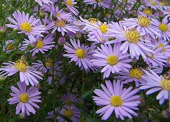 michaelmasdaisies