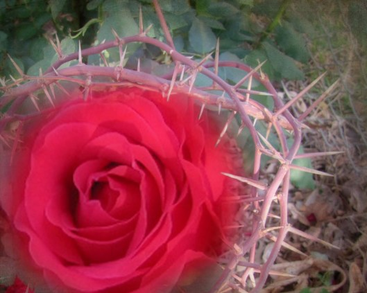 rose-amng-the-thorns-2